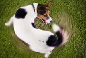dogchasingtail
